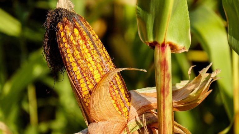 Comment optimiser son semis de maïs ?